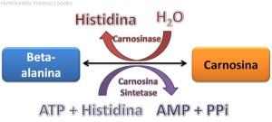 Carnosina-e-beta-alanina3-300x135